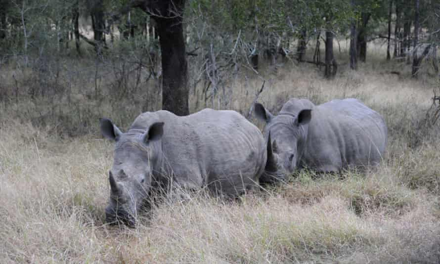 (FILES) -- Rhinos coming out from under some trees at Hlane Royal National Park, Swaziland's largest protected area. The park is too small to support its current population of 19 elephants.