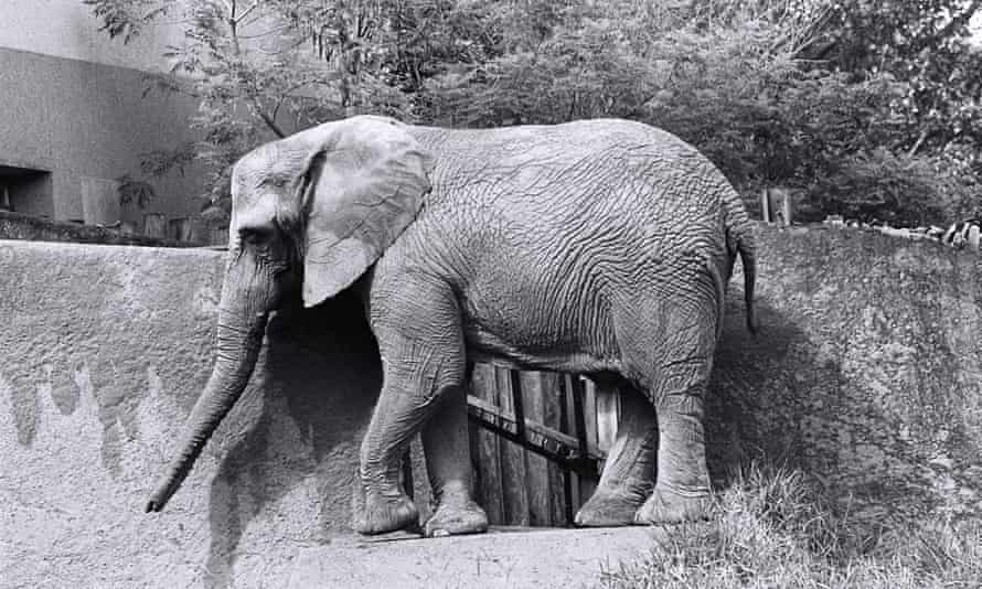African elephant Teresita in her compound at Sau Paulo Zoo, Brazil