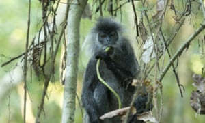 A Germain's silver langur takes a snack break after being released in Angkor Wat last December by Wildlife Alliance.