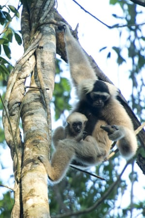 Pileated gibbon mom, Saranik, with her wild-born baby named Spider. Saranik was released into the Angkor Wat forest in 2012 with her partner, Baray. They were the first pileated gibbons to be rewildled in Cambodia.