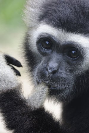 Male pileated gibbon released at Angkor Wat.