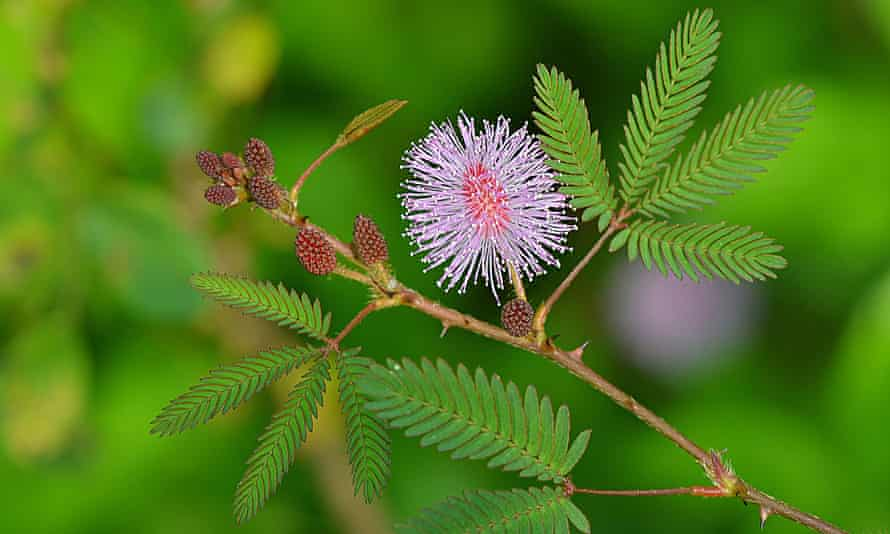 Mimose pudica sensitive plant with pink flower