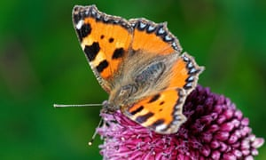 Painted Lady Butterfly on an Allium flower.