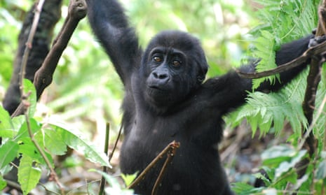 A young Eastern lowland gorilla orphaned by poaching has survived thanks to the Gorilla Rehabilitation and Conservation Education (GRACE) Centre in the Democratic Republic of Congo. This project is supported in part by WAZA institutions.