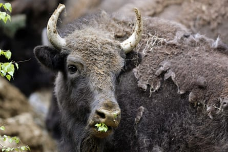 European bison were saved from extinction due to the efforts of zoos. Here a European bison chews on leaves after being relocated to southwestern Romania.