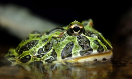 An Ornate Horned Frog, which is considered Near Threatened by the IUCN Red List, at the Ueno Zoological Gardens in Tokyo, Japan. The Ueno Zoological Gardens is the oldest zoo in Japan.