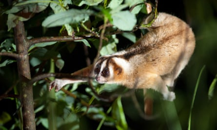 A Javan slow loris in the wild. A conservation project, Little Fireface, helps protect slow lorises in the wild. The project has been supported by a number of zoos.