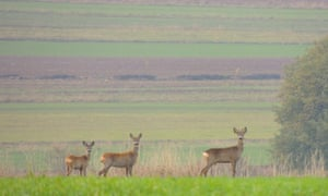 deer Polish countryside