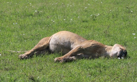 The body of Marsh Lioness Bibi, who died from poisoning at 7.30 am on Sunday 6 December 2015, along with other members of the Marsh Pride. Masai Mara National Reserve, Kenya.