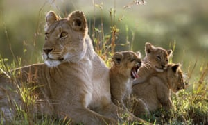 """Lioness Bibi in her prime, with three cubs, in the Masai Mara National Reserve, Kenya. Bibi was a member of the Marsh Pride that featured in the BBC TV series """"Big Cat Diary"""" from 1996 to 2008. Bibi died on 6 December 2015 after being poisoned along with other members of the pride"""