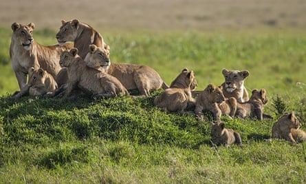 The Marsh Pride at home in the Masai Mara National Reserve, Kenya. Adult lions and cubs relax on a grassy knoll.