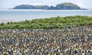 A large colony of King Penguins (Aptenodytes patagonicus), Salisbury Plain, South Georgia and the South Sandwich Islands