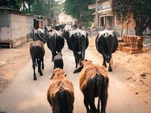 Rear View Bullocks walking home, main street through my village
