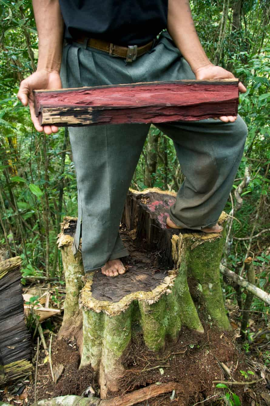 Illegal cutting of Rosewood trees