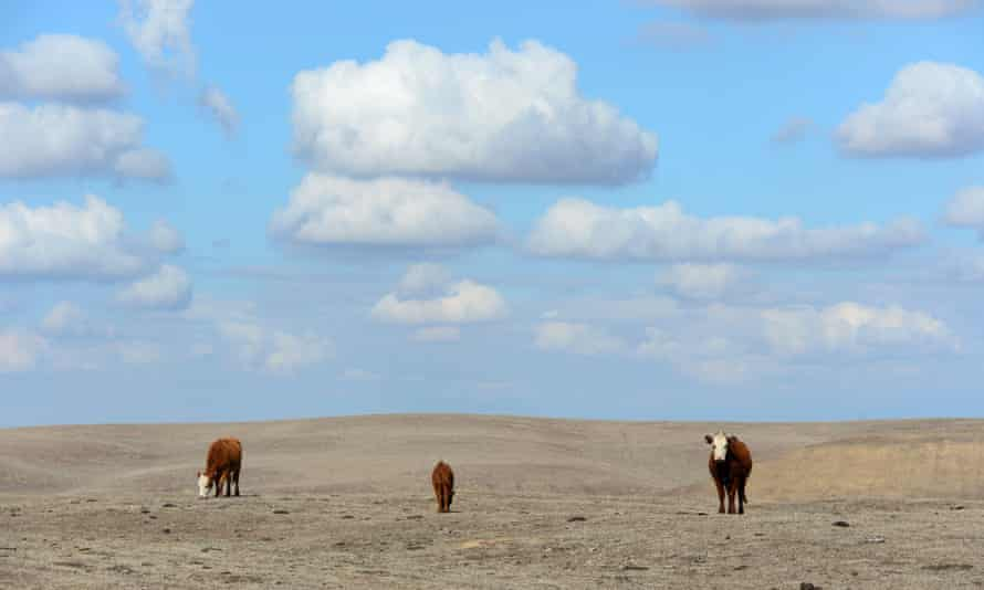 A file photo taken on February 3, 2014 shows Hereford cattle roaming the dirt-brown fields of Nathan Carver's ranch on the outskirts of Delano, in California's Central Valley. On December 11, 2015, 195 states are scheduled to strike a deal in Paris to curb the fossil-fuel gases imperilling Earth's climate system.