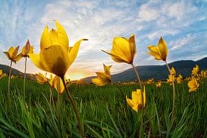 Tulipa silvestris, by Leonardo Battista, winner of the Wildflower Landscapes category
