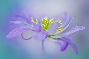 Jacky Parker's image Winter Windflower
