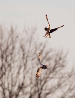 Two feuding Wild Short Eared Owls Asio Flammeus in an aerial territorial battle over Gloucestershire, 7 February 2015.