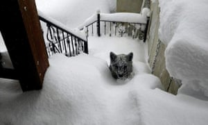 picture dated 08 February 2015 by Oscar Montero, an inhabitant of Prioro town in Leon province, central Spain, shows a Cantabrian brown bear cub covered in snow at Montero's home exterior stairs. The Cantabrian brown bear is catalogued on the Spanish Red List of Endangered Species as 'In Danger of Extinction'. The wild animal appeared in front of Montero's house after the town kept several days isolated by the snow and two and half days without electricity. As Montero explains, at first it was not clear to him what kind of animal it was, he thought it was a big dog, but then he realized that it was a bear cub, quietly climbing the stairs. 'My first impulse was to go out and to touch it, but then I did not do it because I was warned that, being a baby, the mother could be close and it could be dangerous. When I was going to make a video with the phone and opened the door of the house, the animal turned and quickly slipped out behind the house', Oscar says.