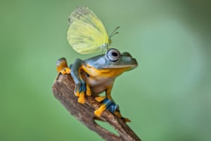 A small winged insect lands on a blue frog, on January 1, 2015, in Jakarta, Indonesia.    A SMALL-armed amphibian is spotted practicing pull-ups on a tree branch. But the tree frog appeared to have some difficulty as he struggled to pull himself up   and had to use his long legs to give his arms a well-earned rest. The bizarre sighting was seen by photographer Lessy Sebastian in his garden in Jakarta, Indonesia.