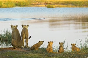 The adult lionesses and four cubs look over to the other side where the remaining cubs are, as an unknown predator lurks in the water, on September 13, 2014, in the Selinda Reserve, Botswana.  TWO lion cubs wait shivering and terrified for their mother after a night alone. The pair of felines were forced to pass through the darkness by themselves after they refused to cross a deep and treacherous river with their pride. Beverly and Dereck Joubert, Emmy award winning wildlife filmmakers, spotted the young animals in Botswana s Selinda Reserve. Two adult lionesses and their six young tried to cross the river, but only four of the cubs made it across. After a number of attempts back and forth, the cubs were forced to spend the night alone vulnerable to predators.