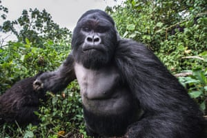 These incredible pictures show the moment a lairy gorilla PUNCHED a photographer in a drunken rage. Unlucky wildlife photographer Christophe Courteau, 46, was taking snaps of a group of silverback gorillas in the forest of the Volcanoes National Park, in Rwanda, when the alpha male of the family began to charge at him unexpectedly. In a scene reminiscent of a bar brawl, the 250kg mountain gorilla, named Akarevuro, appears to clench his fist tightly before tackling the photographer in a display of wanton aggression. Remarkably, Chris managed to capture the gorilla on camera moments before the attack on the slopes of the Virunga Mountains. Completely drunk from eating bamboo stems, which ferment in gorillas stomachs causing them to become intoxicated, the primate, who is the leader of the Kwitonda Group, is said to have felt threatened by a rival male, causing him to become excitable and defensive of his territory.