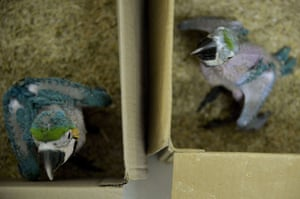 Baby blue-and-yellow macaws (Ara ararauna) are seen in boxes on February 10, 2015, at the Santa Fe zoo in Medellin, Antioquia department, Colombia. Fourteen babies macaw,  which inhabit from Panama to northern Paraguay, were seized by Colombian authorities from animal traffickers, in Santo Domingo municipality, Antioquia department, which have a black market value of between $1500 and $2700.