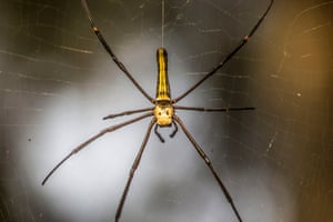 A giant female wood spider seen at Gibbon Wildlife Sanctuary in Jorhat district on February 11, 2015 in Assam, India.   The female giant wood spider scientifically known as Nephila pilipes is a species of golden orb-web spider. It is commonly found in primary and secondary forests and gardens. Females are large and grow to a body size of 30 to 50 mm (overall size up to 20 cm), with males growing to 5 to 6 mm. It is one of the biggest spiders in the world.