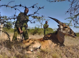 Game rangers from the Ol Pejeta Conservancy try to encourage a distressed female Eland antelope to stand up after it was freed from an illegal snare on February 6, 2015, in the community owned lands bordering the conservancy during a drive to push wild game from human-populated areas back into the wilds of Ol-Pejeta, in a bid to curb increasing incidences of human-wildlife conflict. The Ol-Pejeta Conservancy, is  a 90,000-acre not-for-profit wildlife conservancy in the Laikipia district of central Kenya.
