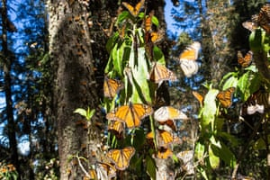 Picture made available on 27 January 2015 provided by the WWF-Telcel Alliance showing some Monarch butterflies at their sanctuary in Michoacan state. The area occupied by the monarch butterfly in Mexico after their migration exceeded by 69% the previous year figure, although it is still among the lowest in decades, said the World Wide Fund for Protection nature (WWF). This season, the butterflies which each fall travel from Canada and the northern US to Mexico were distributed over an area of 1.13 hectares in the State of Mexico and Michoacan, which means an improvement over last migration, which occupied only 0.63 hectares.