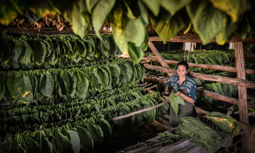 A Cuban worker sews tobacco leaves together.