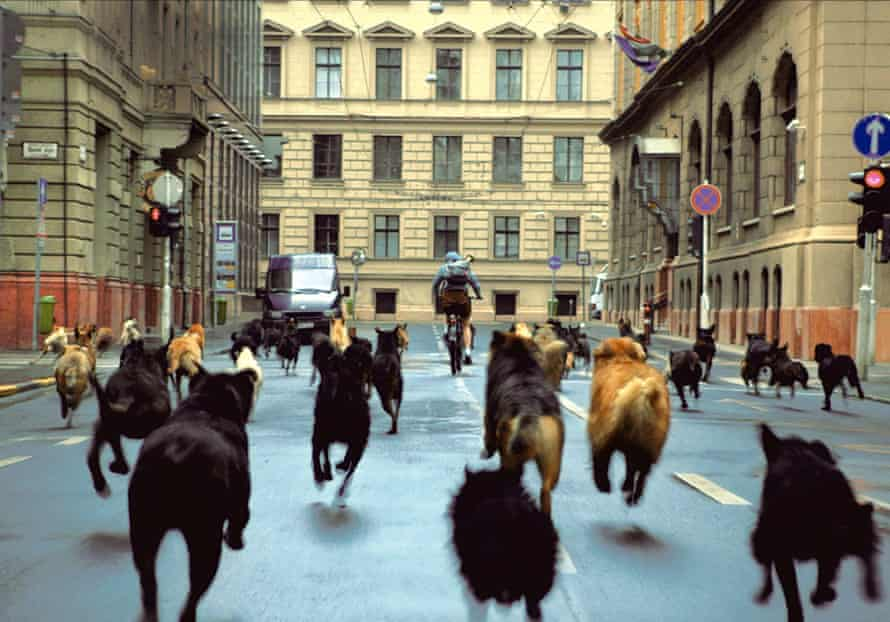 Unsettling … Zsófia Psotta being chased by some of the dogs used in the exhilarating and allegorical White God.
