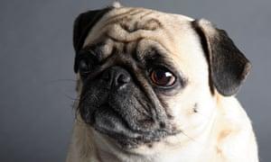 A pug dog.