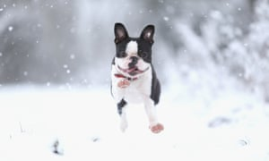 A Boston terrier plays in the snow in Nottingham.