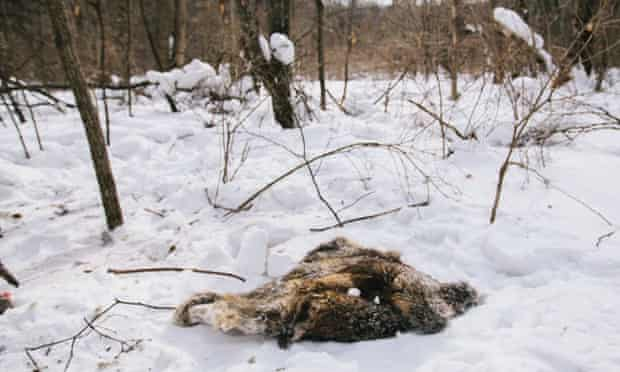 A pelt of fur is all that remains of a boar eaten by a tiger about two weeks previously.
