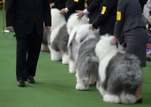 Old English Sheepdogs in the judging area
