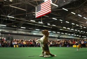 Thunder the Beagle sits and begs during judging in the Hound Group