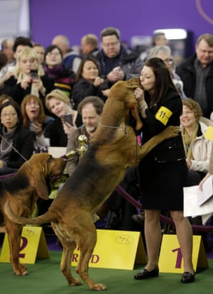 A bloodhound named Flessner's International S'cess, aka Nathan, is kissed by handler Heather Helmer after winning best of breed