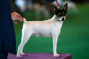 A Toy Fox Terrier stands on the judging platform during judging in the Toy Group