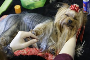 Massimo, a Yorkshire Terrier, relaxes on a grooming table