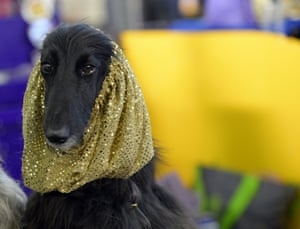 An Afghan Hound in the benching area
