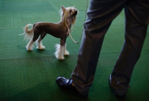 A Chinese Crested dog during judging in the Toy Group