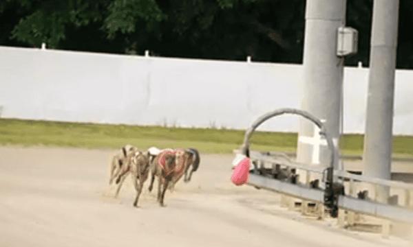 greyhound racing - making a killing