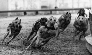 Dog racing at Hackney stadium, London, 1st August 1972. (Photo by Fox Photos/Getty Images)formatlandscape;animal;dog;speed;Sport;GreyhoundRacing;FOX858689;KEYSPORT/DOGRACING