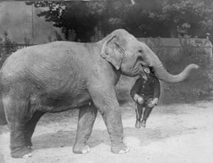An elephant from Earl's Court Circus with a man in its mouth.