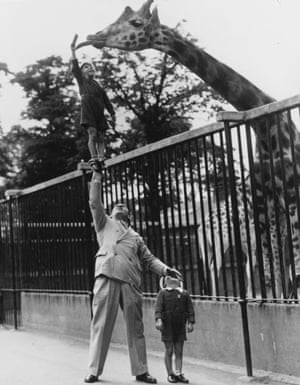 circa 1950: Paul Remos and his six and seven year old sons, feeding a giraffe at London Zoo.