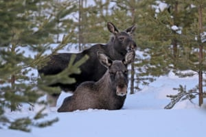 Moose mother and baby.