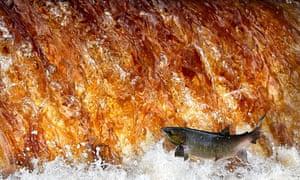 Salmon swim upstream in the River Swale, North Yorkshire
