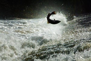 Salmon try to jump to the top of the Could Weir, Selkirk during their long journey up the Tweed river in the Scottish Borders.