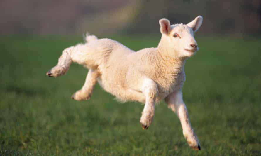 Flying start: help out with lambing in Scotland.
